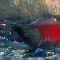 Salmon Run at Adams River.