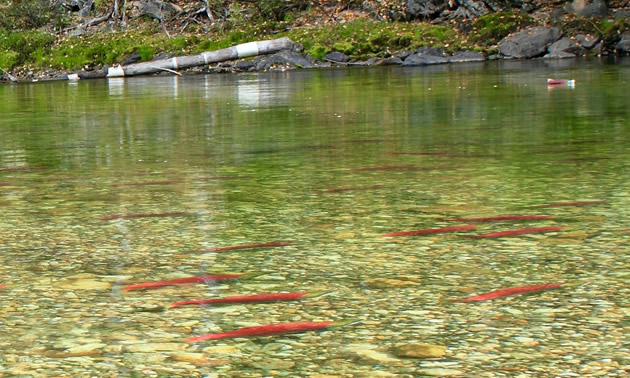 Salmon resting in the Shuswap River.
