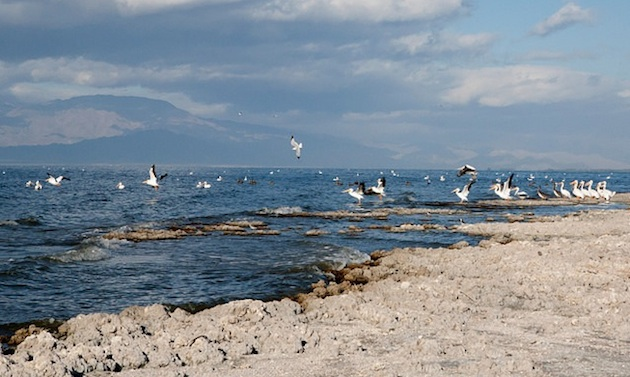 White pelicans at the Salton Sea.