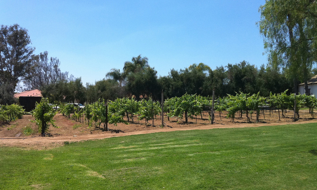 Rows of grapevines are shown at the Bernardo Winery.