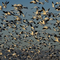 Some of the 18,000 Snow Geese taking flight at the Sonny Bono Salton Sea National Wildlife Refuge.