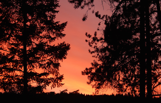 A sunset through some pine trees.