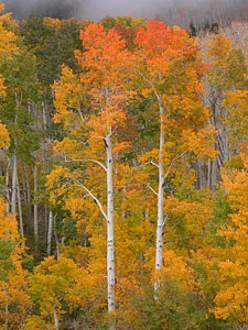 Picture of yellow autumn trees.