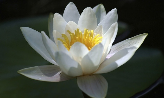 White waterlily in the sun.