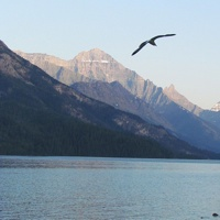 A lone bird flying over Waterton Lake in Waterton National park at sunset.