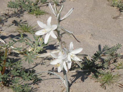 An image of a white flower in the desert